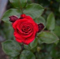 """la rose du centenaire de la Renaissance Française """"Simone VEIL"""""""